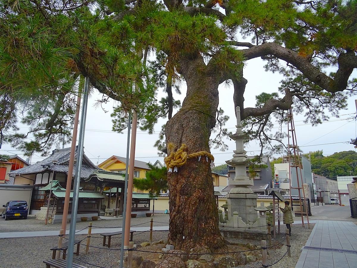 大慶寺の松