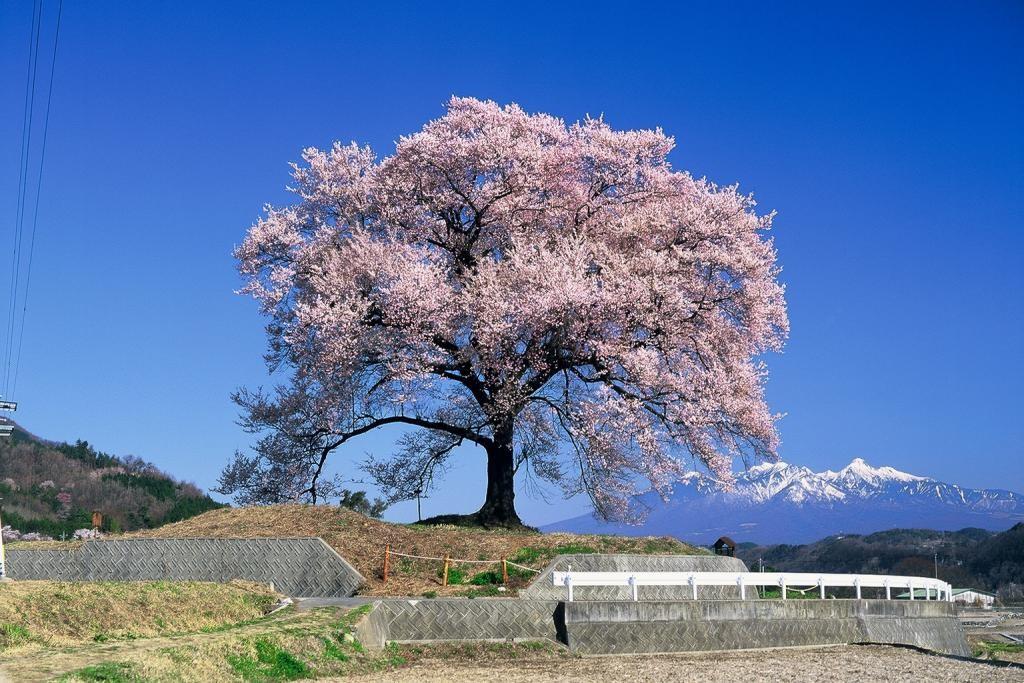 八ヶ岳を背に咲くわに塚の桜