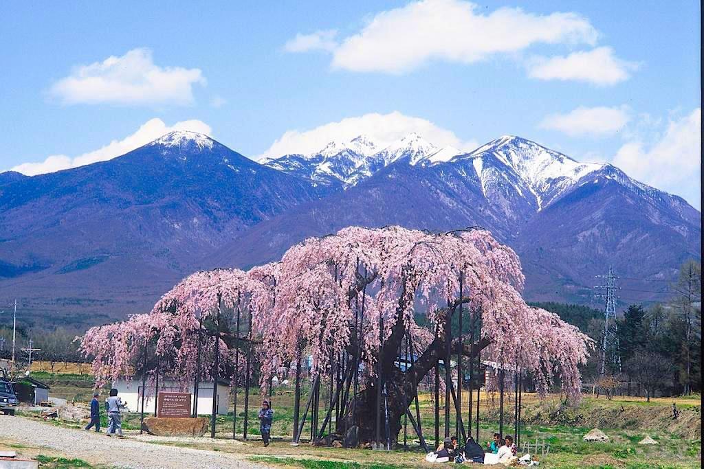 八ヶ岳をバックに咲く神田の大イトザクラ