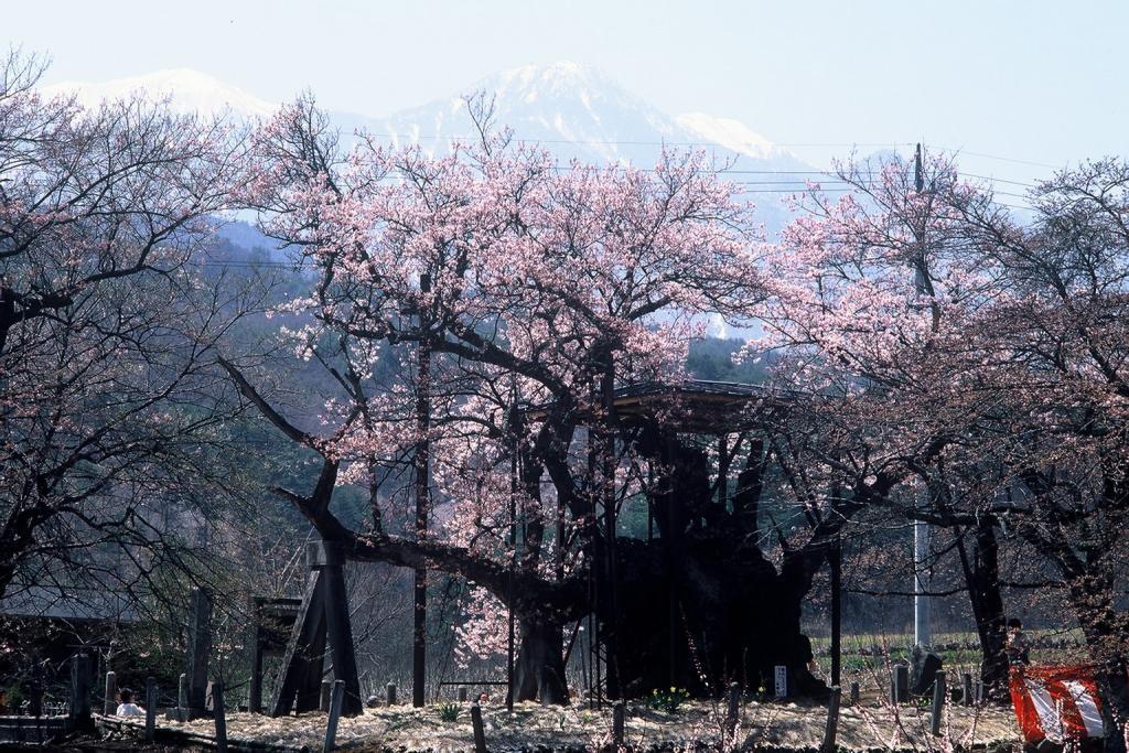 南アルプスをバックに美しく咲き誇る山高の神代桜