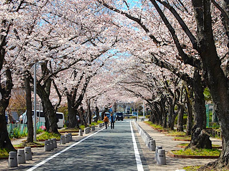 諏訪の桜トンネル