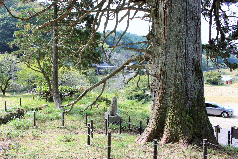 切山の大杉