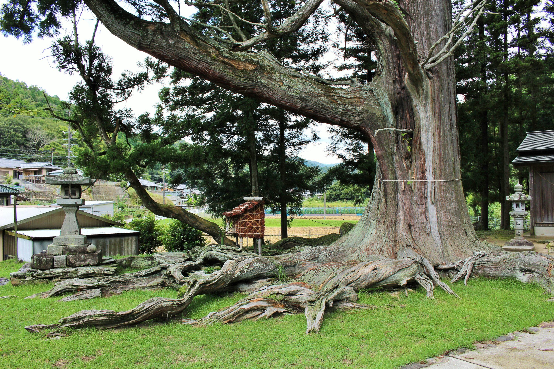 夏山の大杉(夏山の根上り杉)