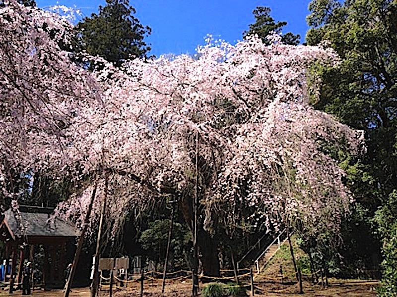 福星寺(福星寺のしだれ桜)