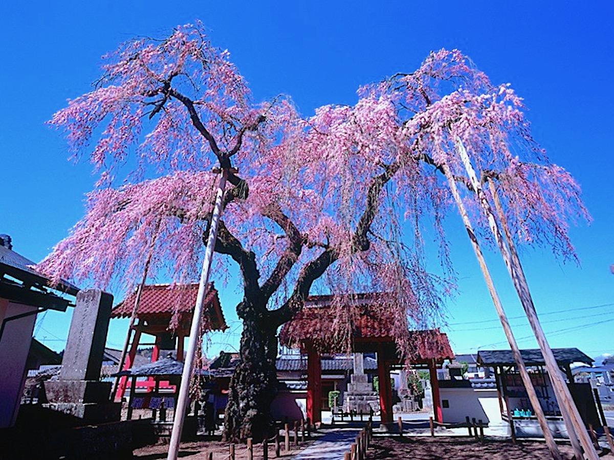 乙姫桜(妙関寺)
