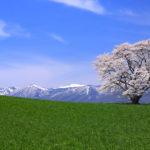 小岩井農場一本桜