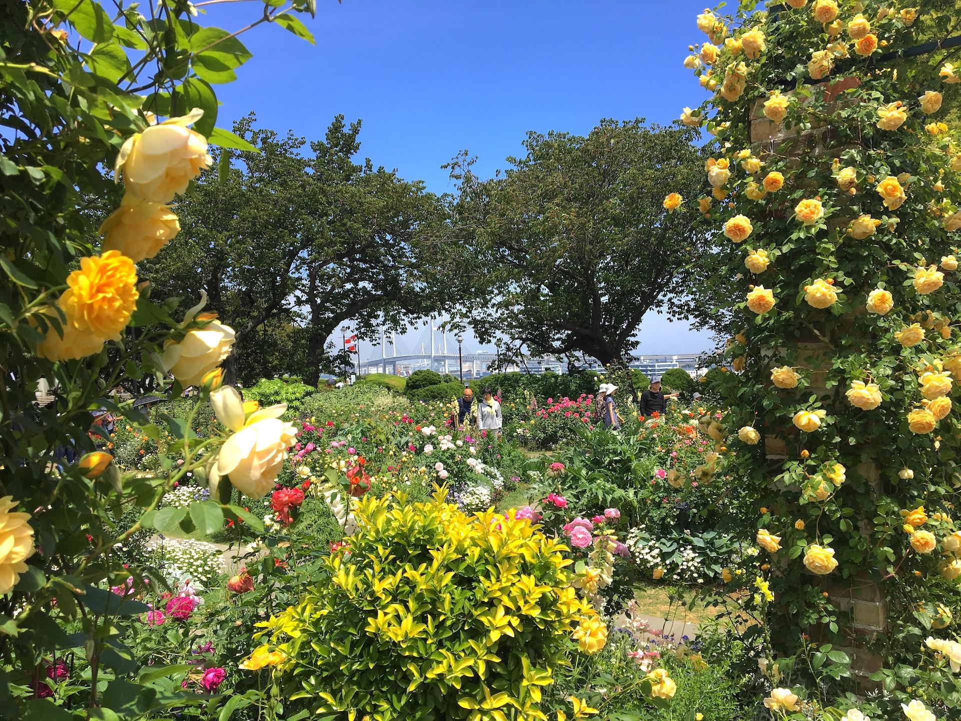 港の見える丘公園イギリス山地区・イングリッシュローズの庭