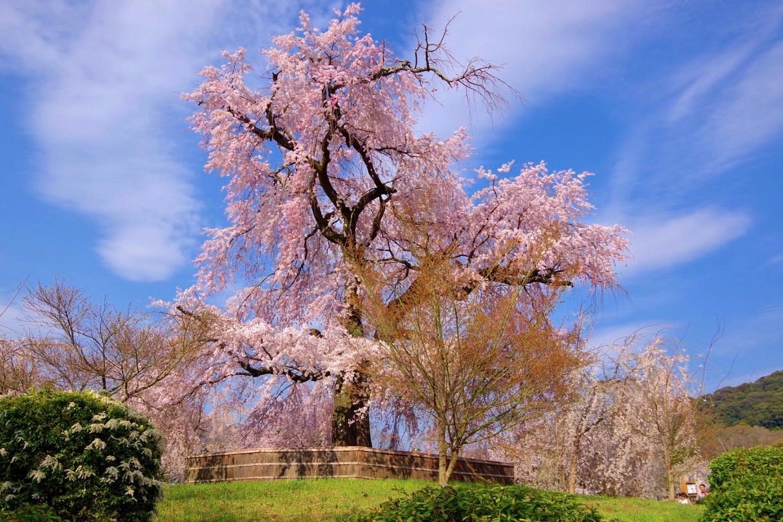円山公園・祇園枝垂桜
