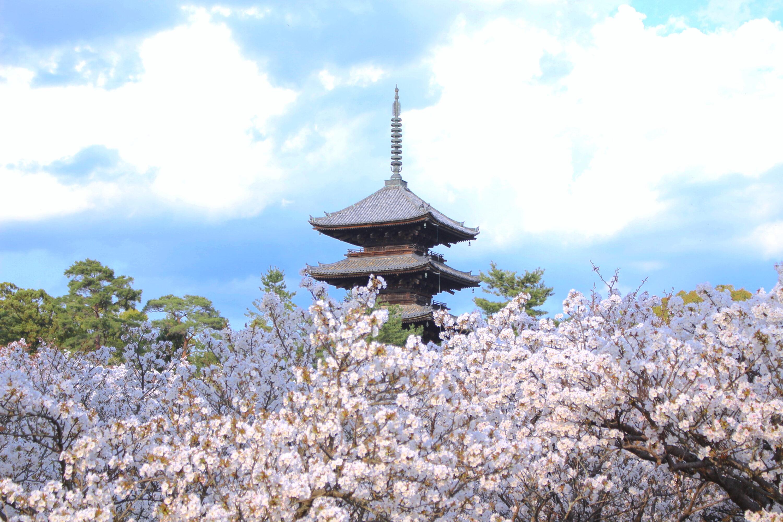仁和寺・御室桜