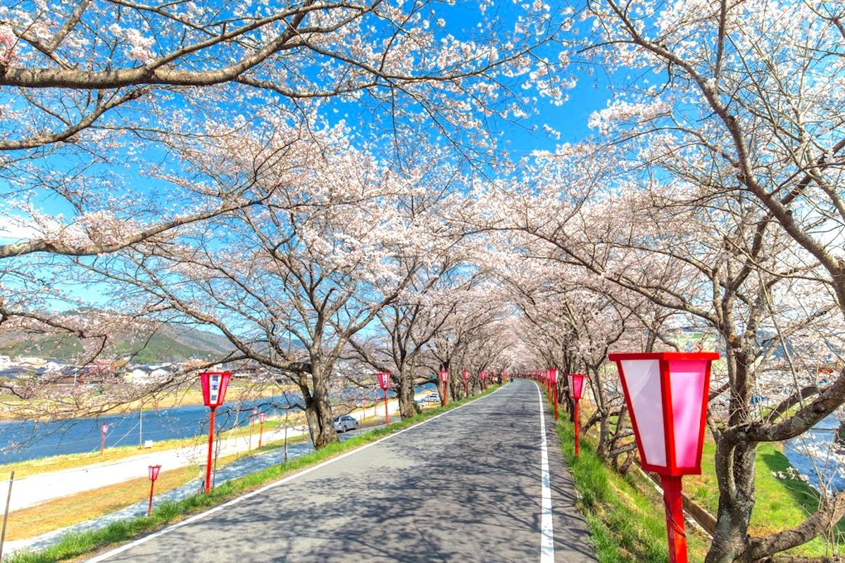 久世トンネル桜