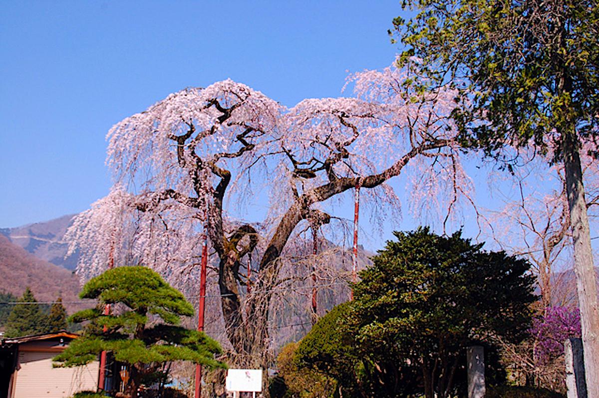 円通寺のシダレザクラ
