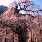 清雲寺のシダレザクラ