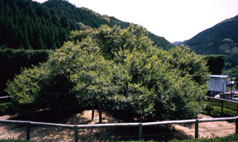 嬉野大茶樹