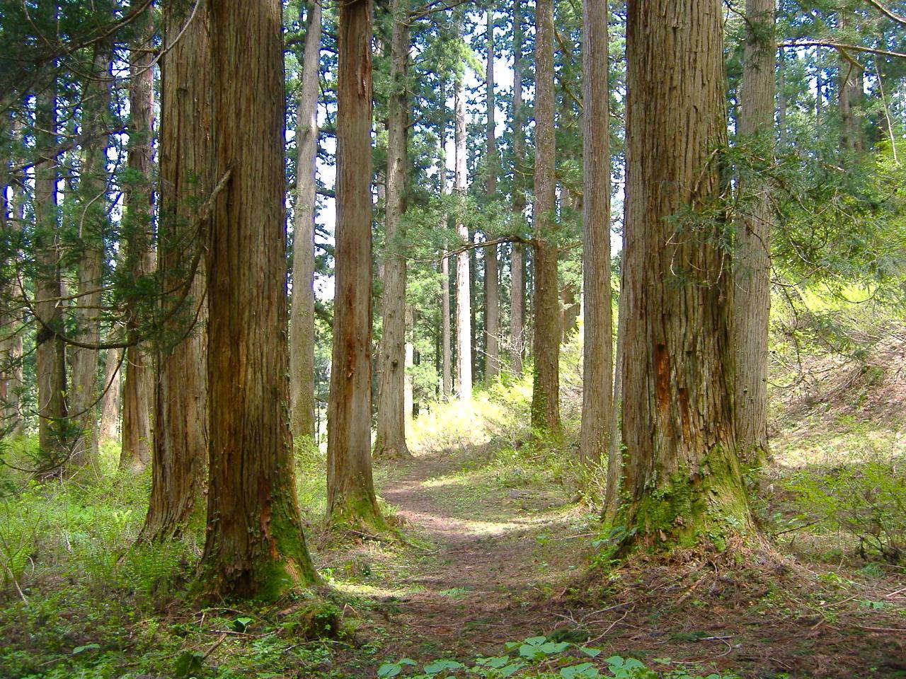 大美輪の大杉