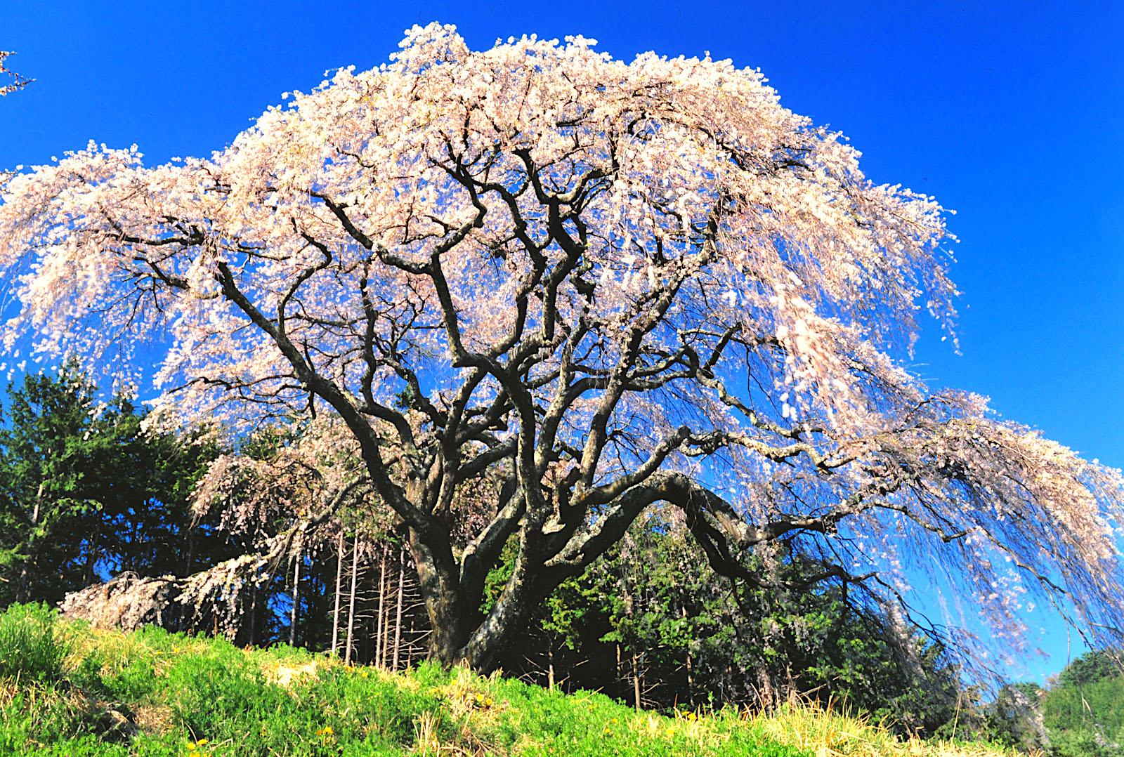 乙ケ妻の桜