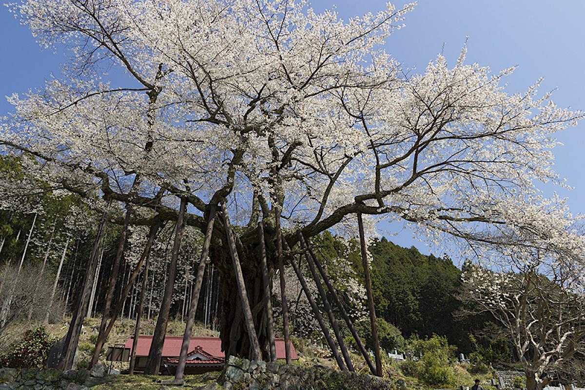 本郷の千年桜