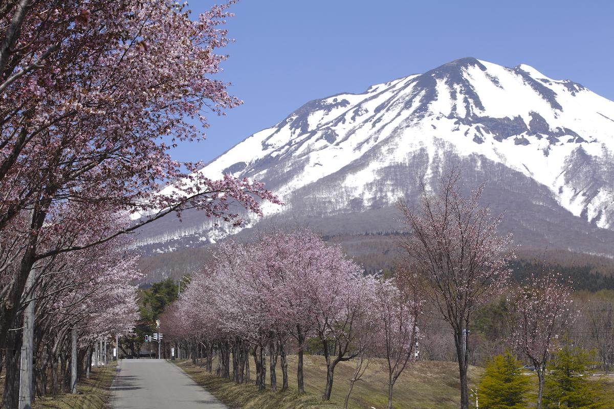 世界一長い桜並木