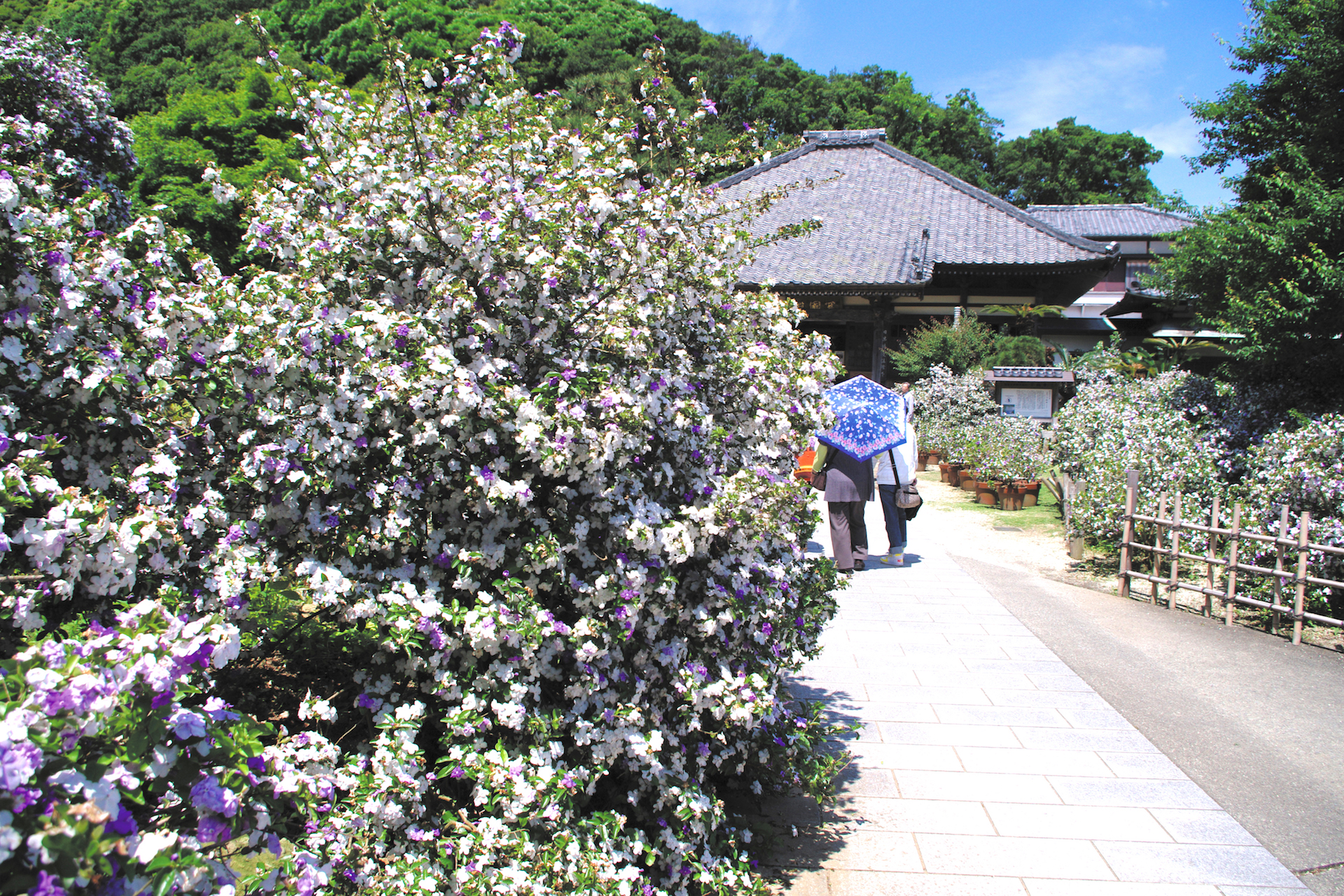 了仙寺『香りの花まつり』