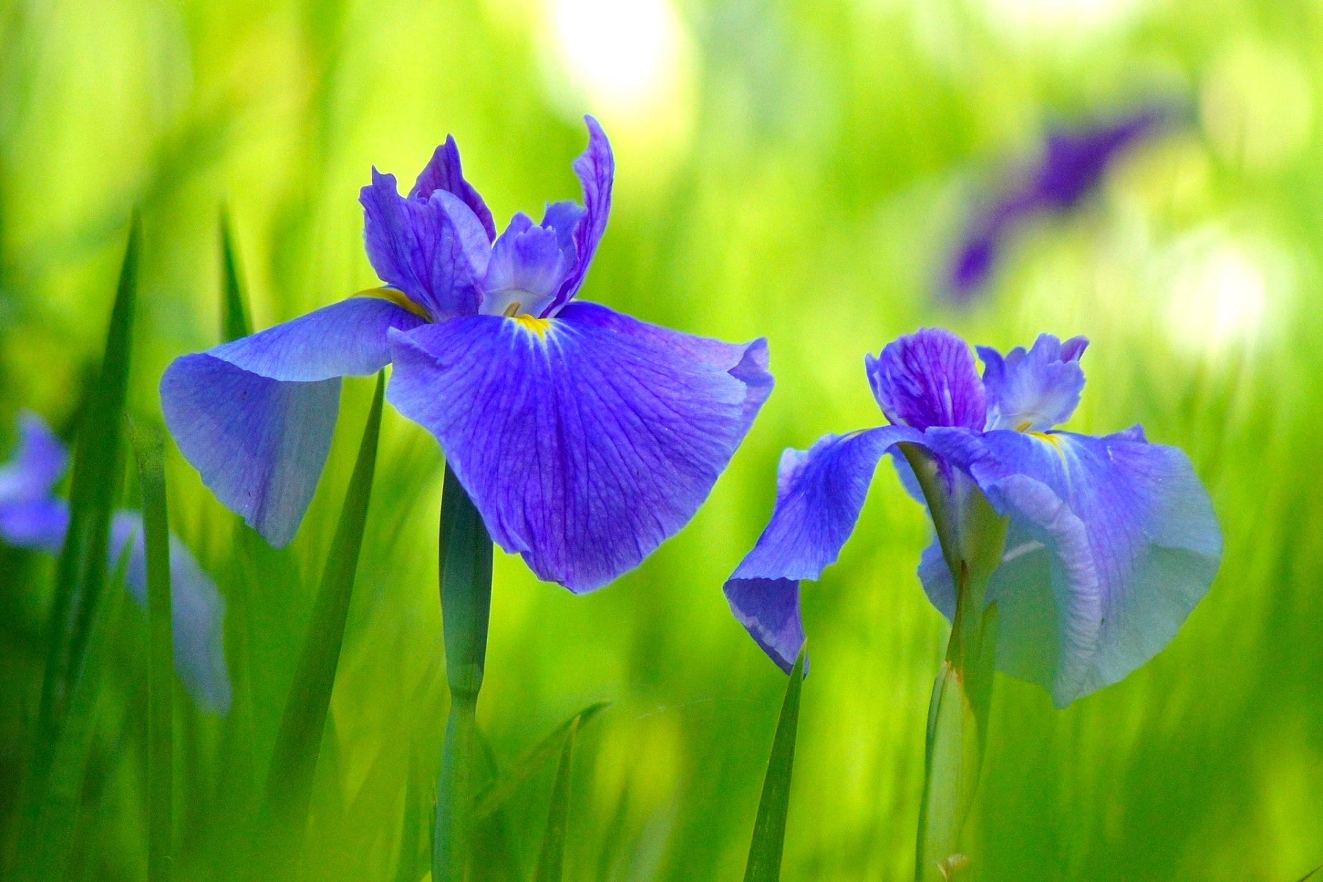 小石川後楽園『花菖蒲を楽しむ』