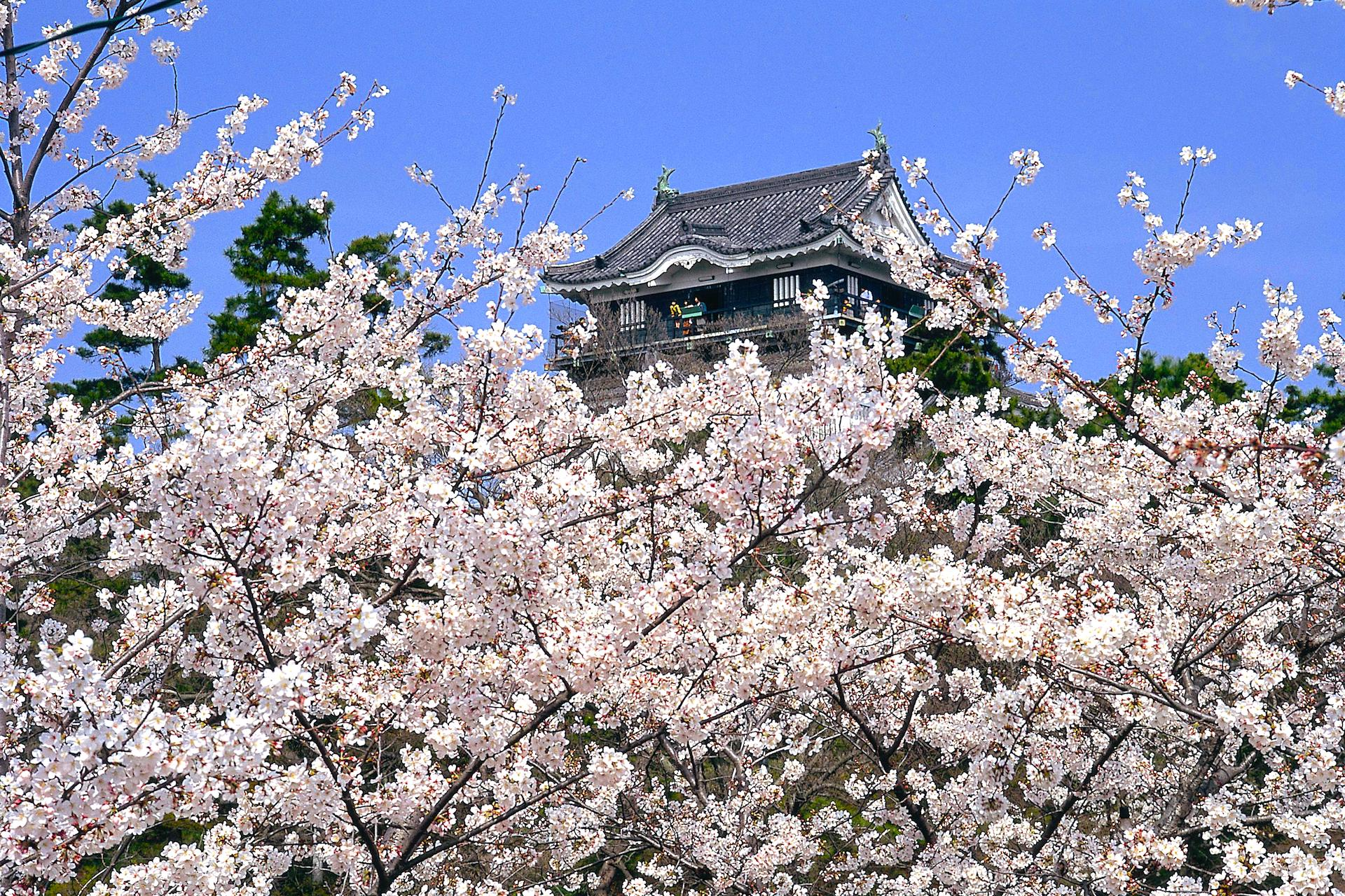 岡崎の桜まつり