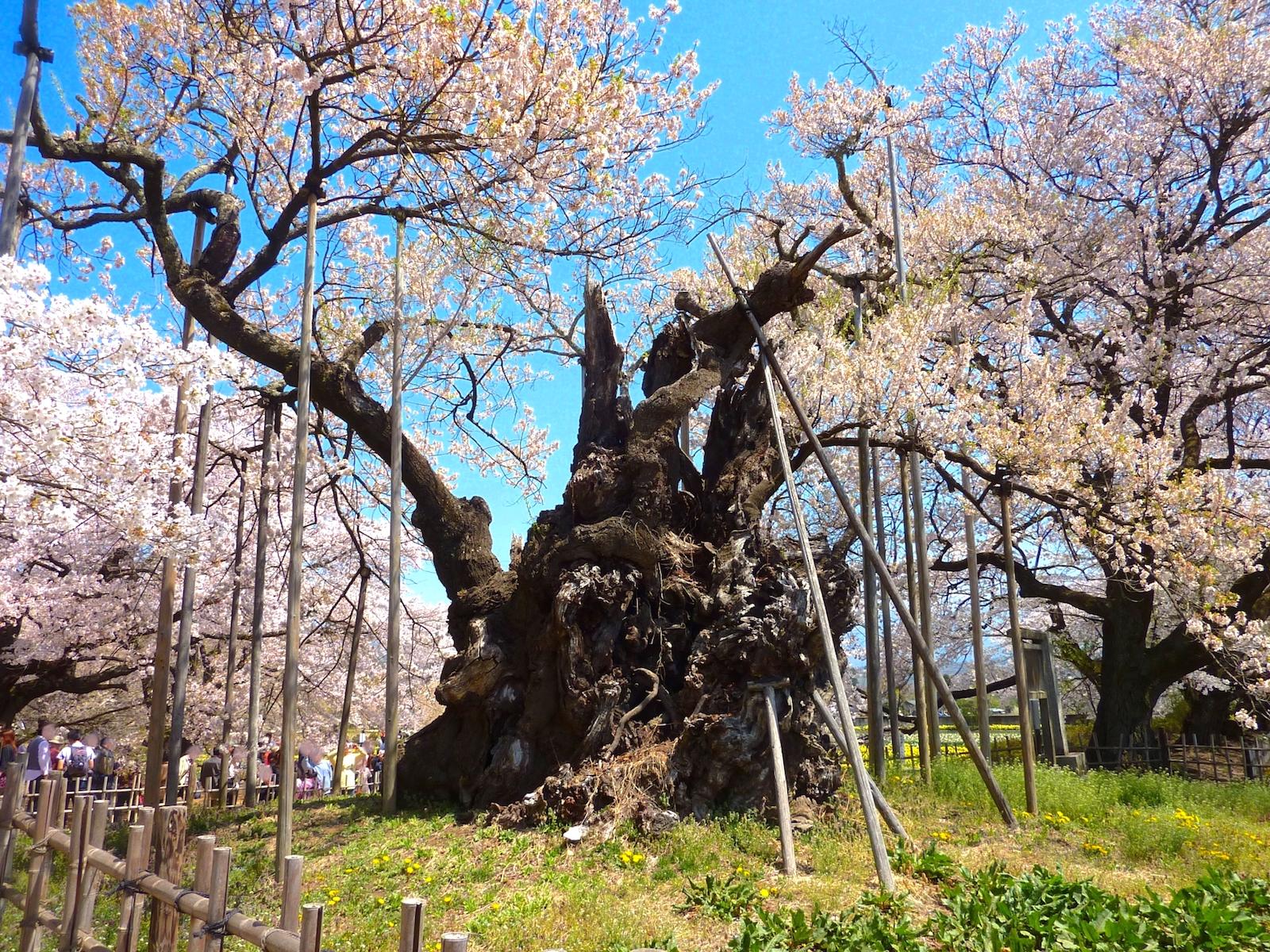 桜の画像 p1_20