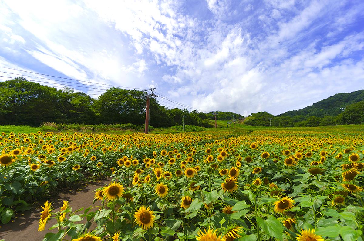 三ノ倉高原ひまわり畑