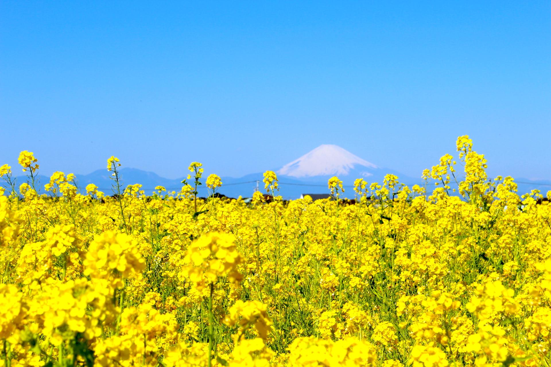 ソレイユの丘『菜の花まつり』