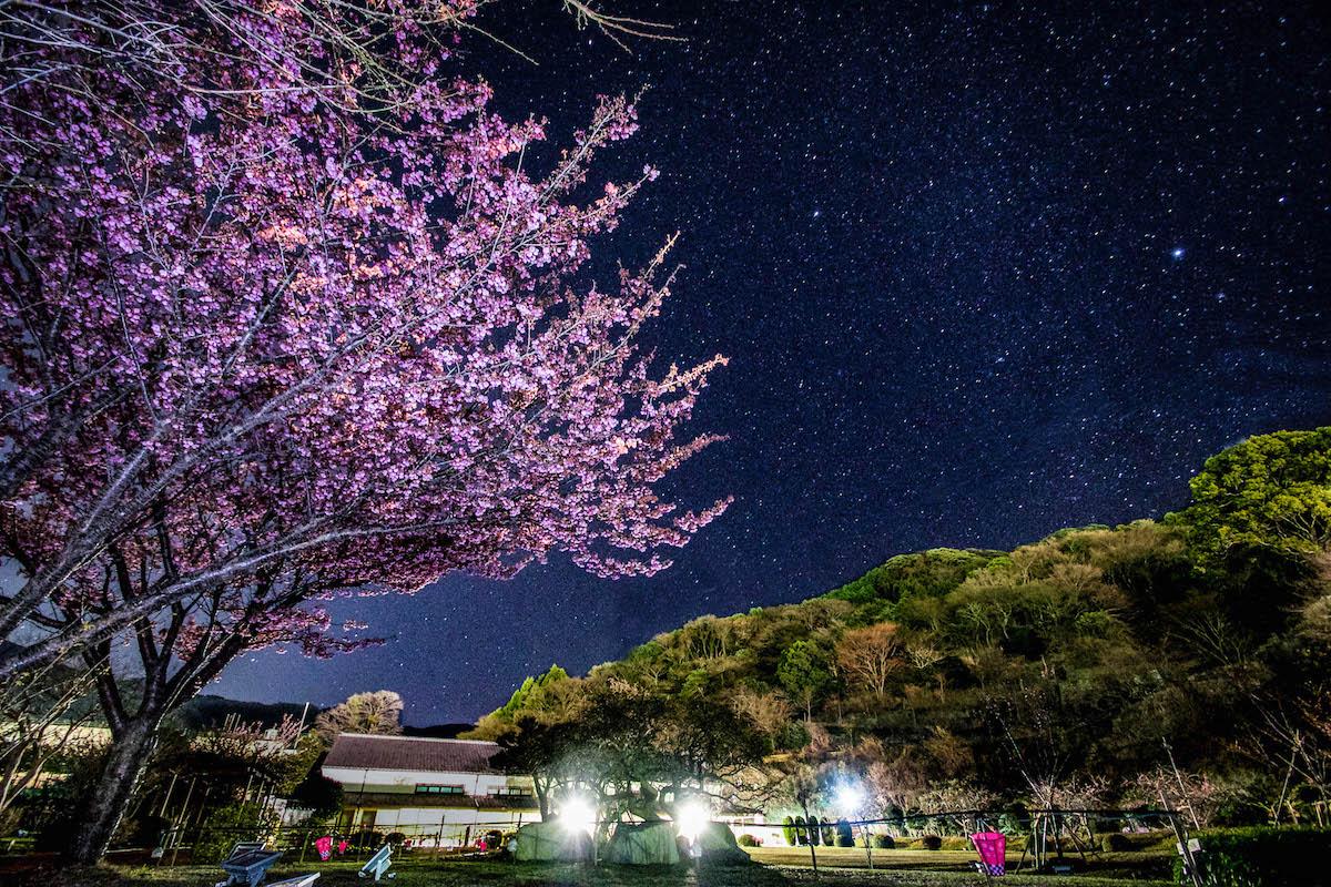土肥桜(土肥金山)