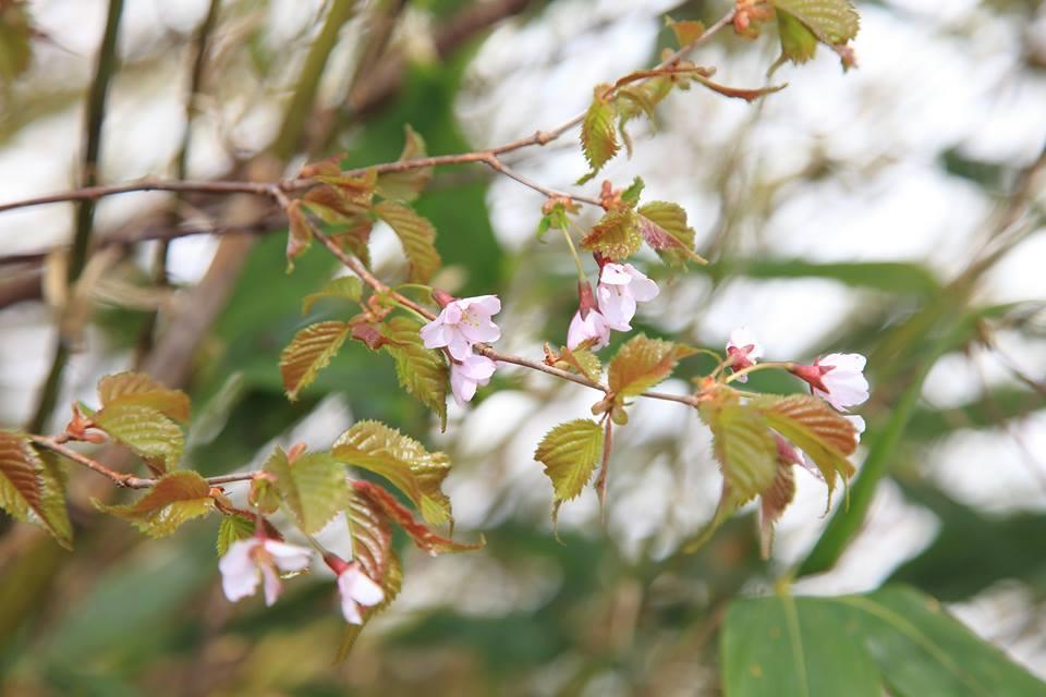 タカネザクラ(高嶺桜)