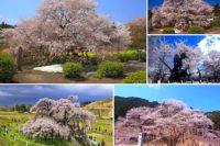 日本三大桜、日本五大桜とは!?