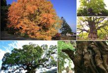 日本の巨木 ベスト10