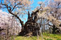 日本の桜 ベスト20 ご長寿桜大集合!