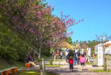 第41回もとぶ八重岳桜まつり|2019|本部町