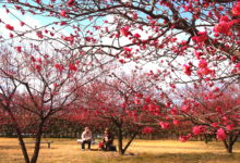 太伯振興梅まつり|2019|岡山市