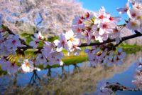 第43回各務原市桜まつり|2019|各務原市