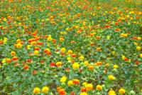 第24回おけがわべに花まつり|桶川市|2019