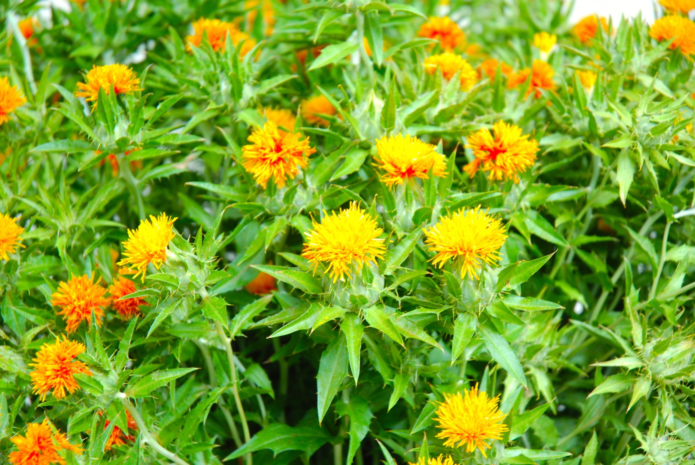 山形紅花まつり
